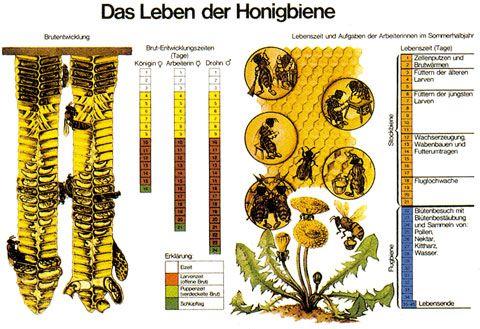 """Lehrtafel """"Das Leben der Honigbiene"""""""