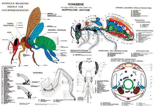 """Lehrtafel """"Anatomie der Honigbiene"""""""